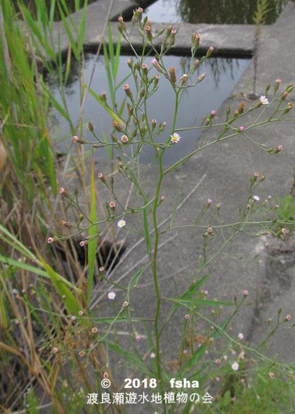渡良瀬遊水地に生育しているヒロハホウキギクの全体画像と説明文書