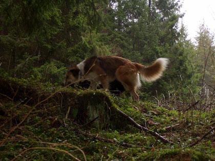 ein Fuchs ? Nein- Willi