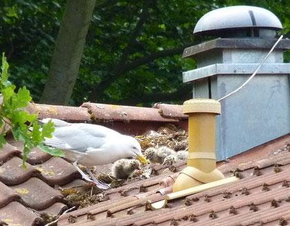 Brutversuch auf einem Hausdach, Zinnowitz Juni 2012 (Foto ak)