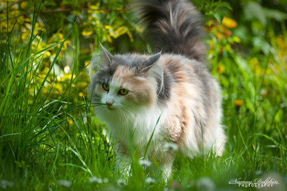 waldkatzen, rabiya av Jostedalsbreen, norwegische waldkatzen münchen, norwegische waldkatzen kitten kaufen, norwegische waldkatzen züchter, norwegische waldkatzen züchter bayern