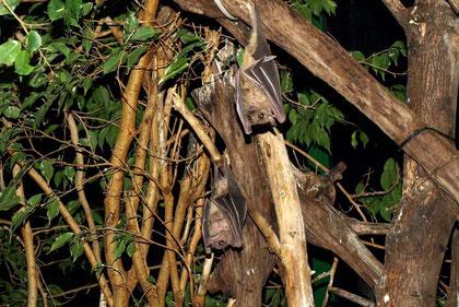 Nilflughunde (Rousettus aegyptiacus)