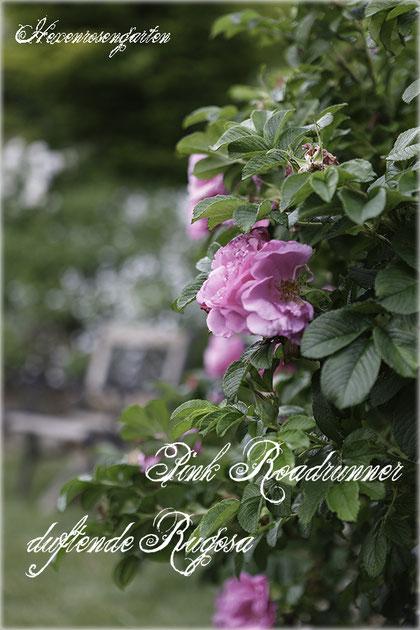 Rosen Hexenrosengarten Rosenblog Duftrosen Rugosa Pink Roadrunner Kordes
