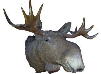 Kopf eines Elchbullen