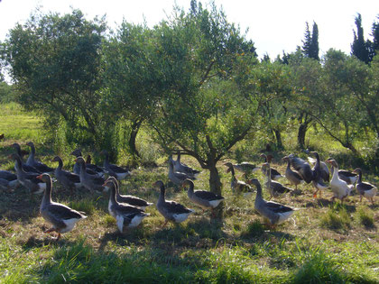 Gänseherde im Olivenhain