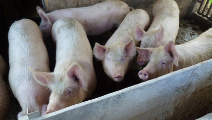 Vielversprechende Schweinezucht