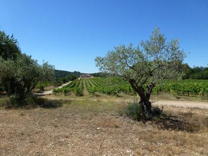 Der Olivenhain am Eingang des Weinguts La Cabrery