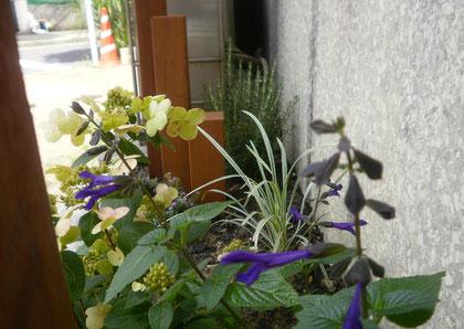 先日植えたサルビア・ガラニチカは暑くなってより元気に。涼しげな青紫の花に癒されます♪