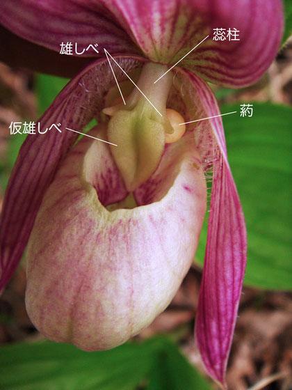 アツモリソウの花の構造