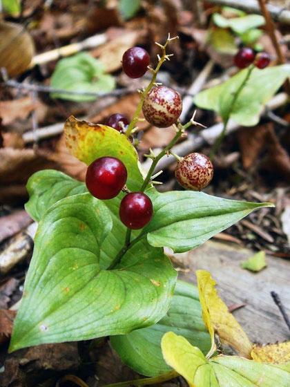 マイヅルソウの果実は森の宝石です
