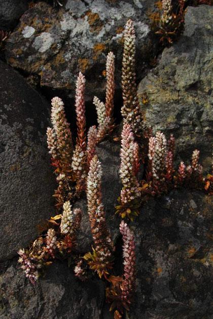 ツメレンゲ 花色は白色、薄い赤、薄い緑と個性豊か