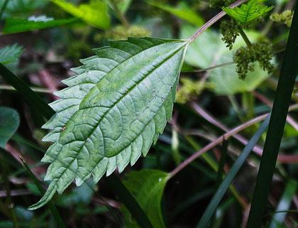 アオミズの葉