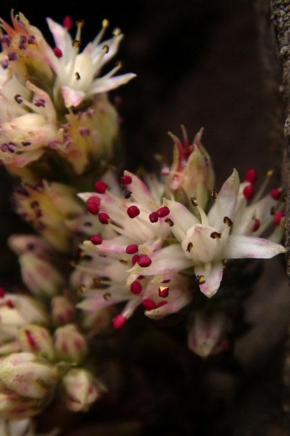ツメレンゲ 紅色の葯がかわいい。白い花弁によく映えます