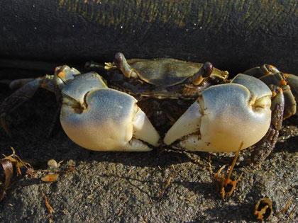 干潟には20種類位のカニが棲息するそうです
