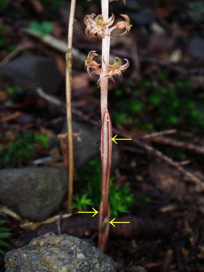 ヒメムヨウランの鞘状葉