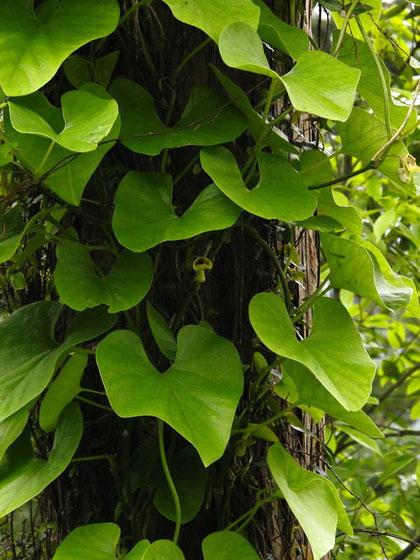 つる性植物。葉は直径10〜15cmと大きい。葉と比べるとかわいい大きさの花です。