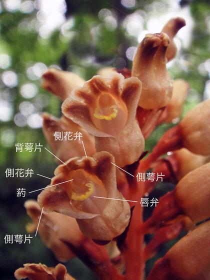オニノヤガラの花の構造(背萼片、側花弁、側萼片、唇弁、葯)