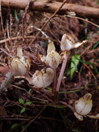 キバナノショウキラン (黄花の鍾馗蘭) ラン科 ショウキラン属