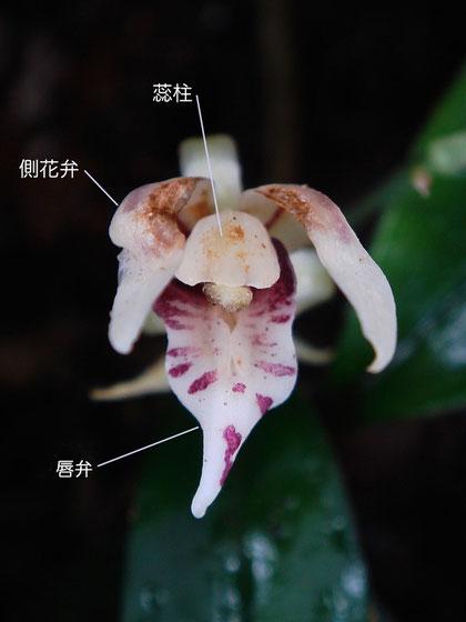 ナギランの花の構造 正面やや上方から(蕊柱、側花弁、唇弁)