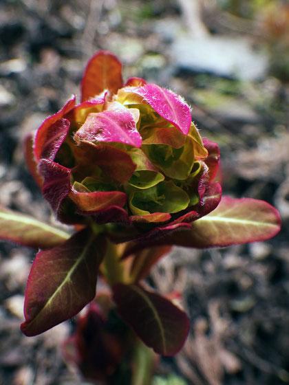 マルミノウルシ 開花が始まりました