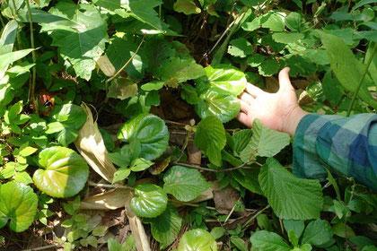 オオイワカガミの葉。 たくさんありました。花の時期に来たい