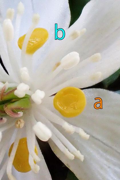 #17 #16の拡大  舷部の形状が花弁により異なるように見える