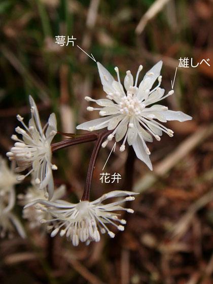 セリバオウレン 雄花(萼片、花弁、雄しべ) 2013.02.11 東京都あきる野市