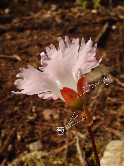 イワウチワ 2007.04.30