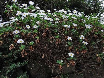 ハマギク  茎は木質化している。   2010.11.06 茨城県