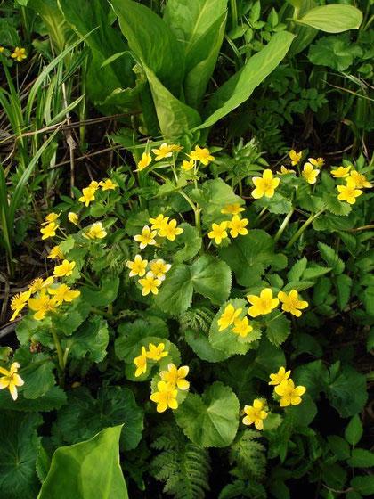 リュウキンカ (立金花) キンポウゲ科