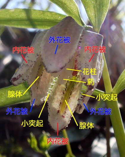 コシノコバイモ 2008.04.06 新潟県