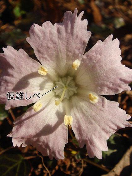 イワウチワの仮雄しべ 2007,.04.30