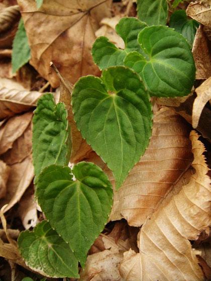葉は心形で表は明るい緑色、脈がへこむ。縁の鋸歯はとがらない。