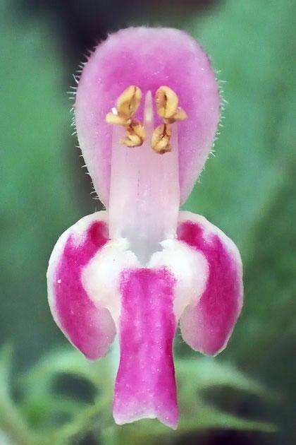 上唇は全縁、下唇は3裂し開出します。萼筒内面基部に毛環があります