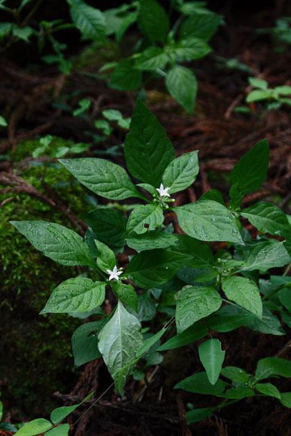 シロバナイナモリソウ (白花稲森草) アカネ科 イナモリソウ属