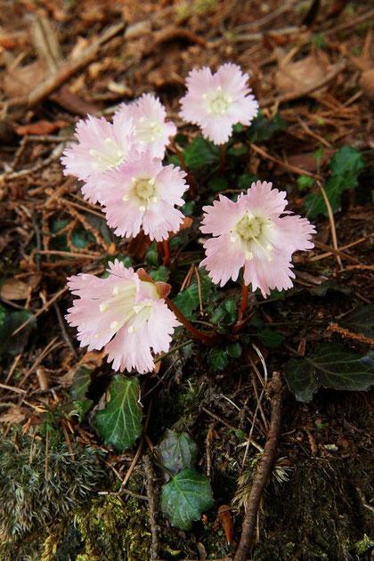 イワウチワ 2007.04.30  東京都