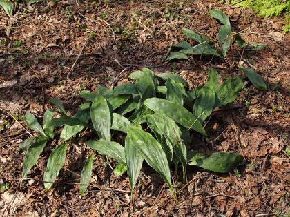 サイハイラン  このような密生した葉があちこちにあった