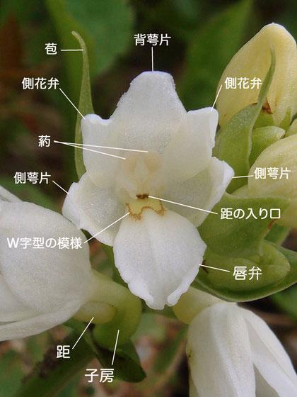 オノエランの花の構造(背萼片、側花弁、側萼片、唇弁、葯、距の入口、苞、子房) 2007.06.21 野反湖