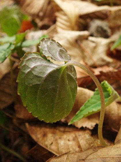 葉の裏面は淡緑色で葉脈に沿って毛が生える。