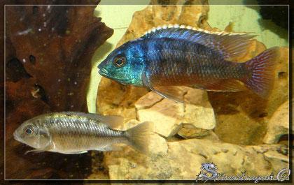 Couple (mâle en haut, femelle en bas)