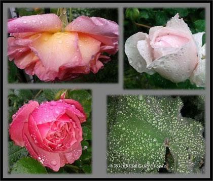 Regen Rosen Garten