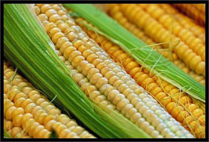 der erste junge Mais ist reif - in Salzwasser blanchieren und dann auf den Grill damit