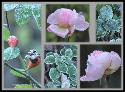 Eiskristalle an Blättern und letzten Rosenblüten- selbst die kleine Raupe ist gefroren