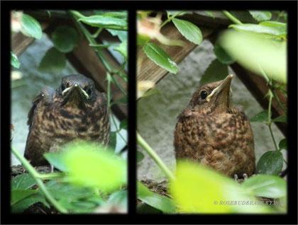junge Amseln verlassen das Nest