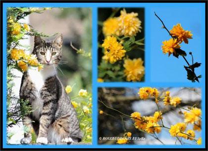 gelbe Blüten vom Ranunkelstrauch