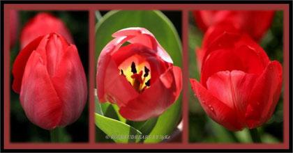 rote Tulpen - zu Weihnachten passen sie fabelhaft -nur dann blühen sie nicht
