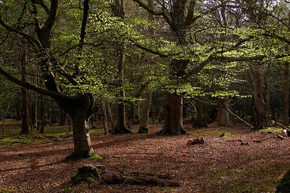 Photograph of a beech wood by treehouse1977/ Jim Champion on flickr. Reusable under Creative Commons Attribution-Share Alike 2.0 Generic