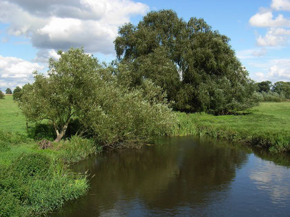 A typical willow habitat (here on the River Blythe). The tree in the foreground is a willow.