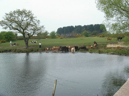 Longmoor Pool. The mill would have been just out of sight at the top right of the picture.