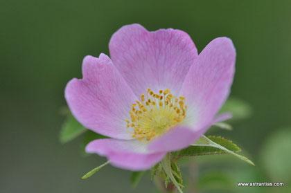 Rosa rubiginosa - Wein-Rose - Schottische Zaunrose - Rosier églantier - Rosa balsamina - Wildrosen - Wildsträucher - Heckensträucher - Artenvielfalt - Ökologie - Biodiversität - Wildrose