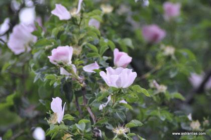 Rosa canina - Hundsrose - Heckenrose - Hag-Rose - Eglantier - Rosier des chiens - Rosa selvatica comune - Wildrosen - Wildsträucher - Heckensträucher - Artenvielfalt-Ökologie-Biodiversität - Wildrose